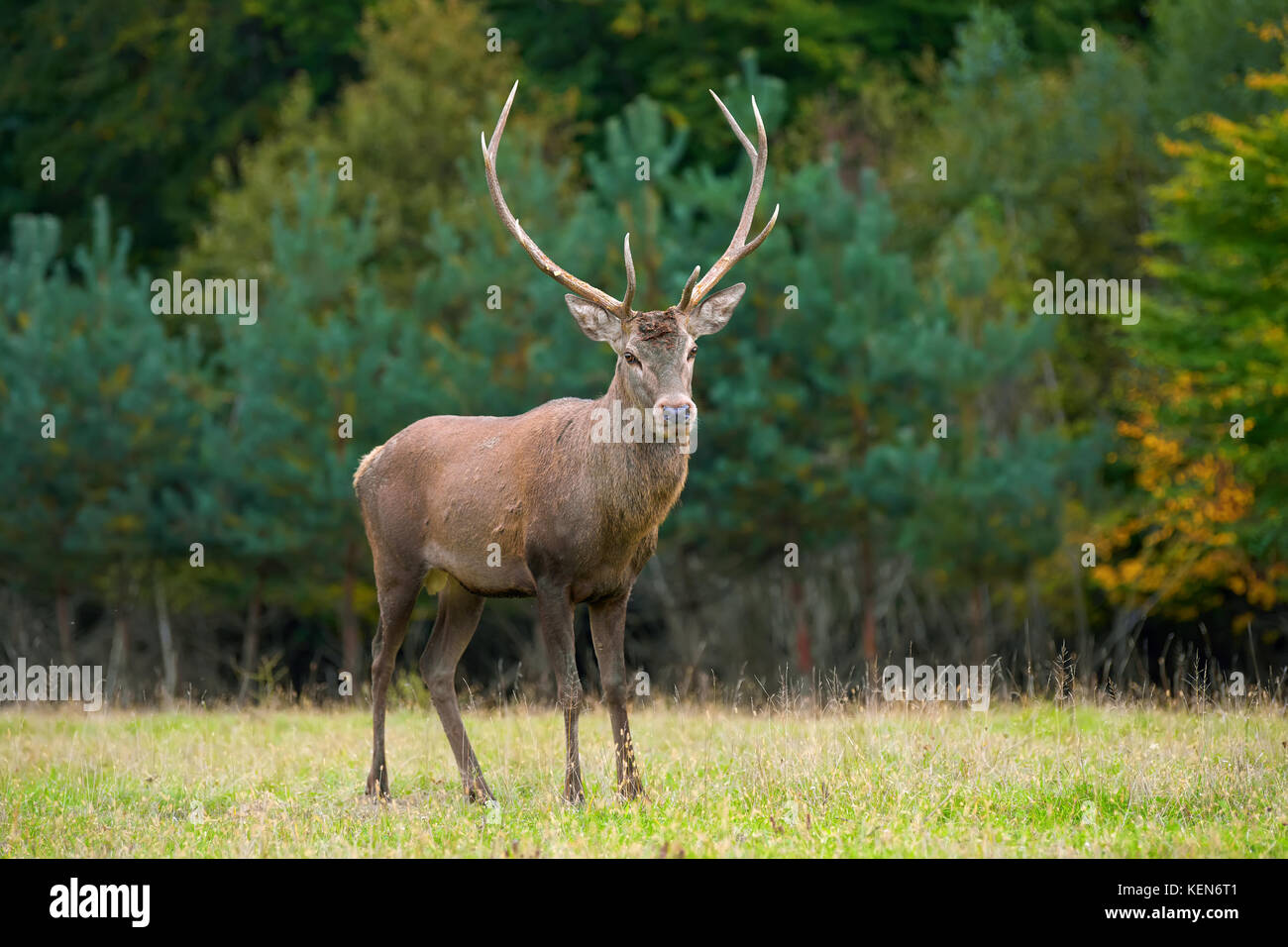 Portrait of majestic powerful adult red deer stag in the natural environment - Stock Image