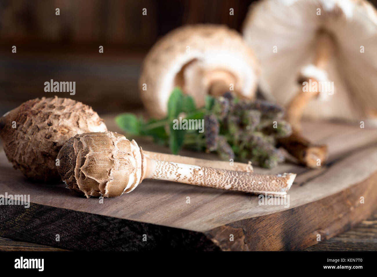 Macrolepiota procera is a very tasty edible mushroom. It is a seasonal gift from the forest - Stock Image