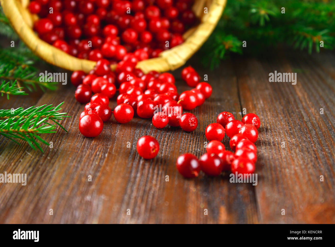 Cowberry, foxberry, cranberry, lingonberry sips from the basket on a brown wooden table. Surrounded by fir branches. - Stock Image