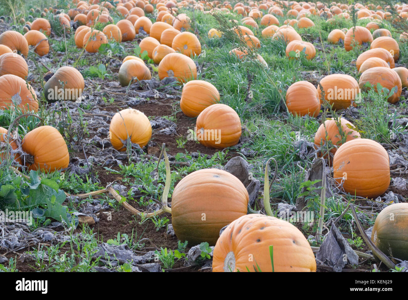 Pumpkins growing in a field for Hallween - Stock Image