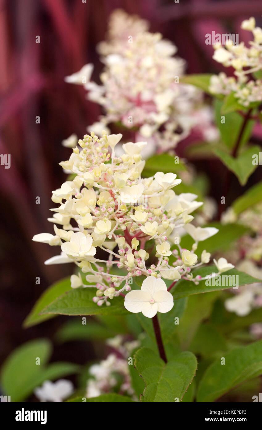Hydrangea paniculata 'Pinky Winky' flowers. - Stock Image