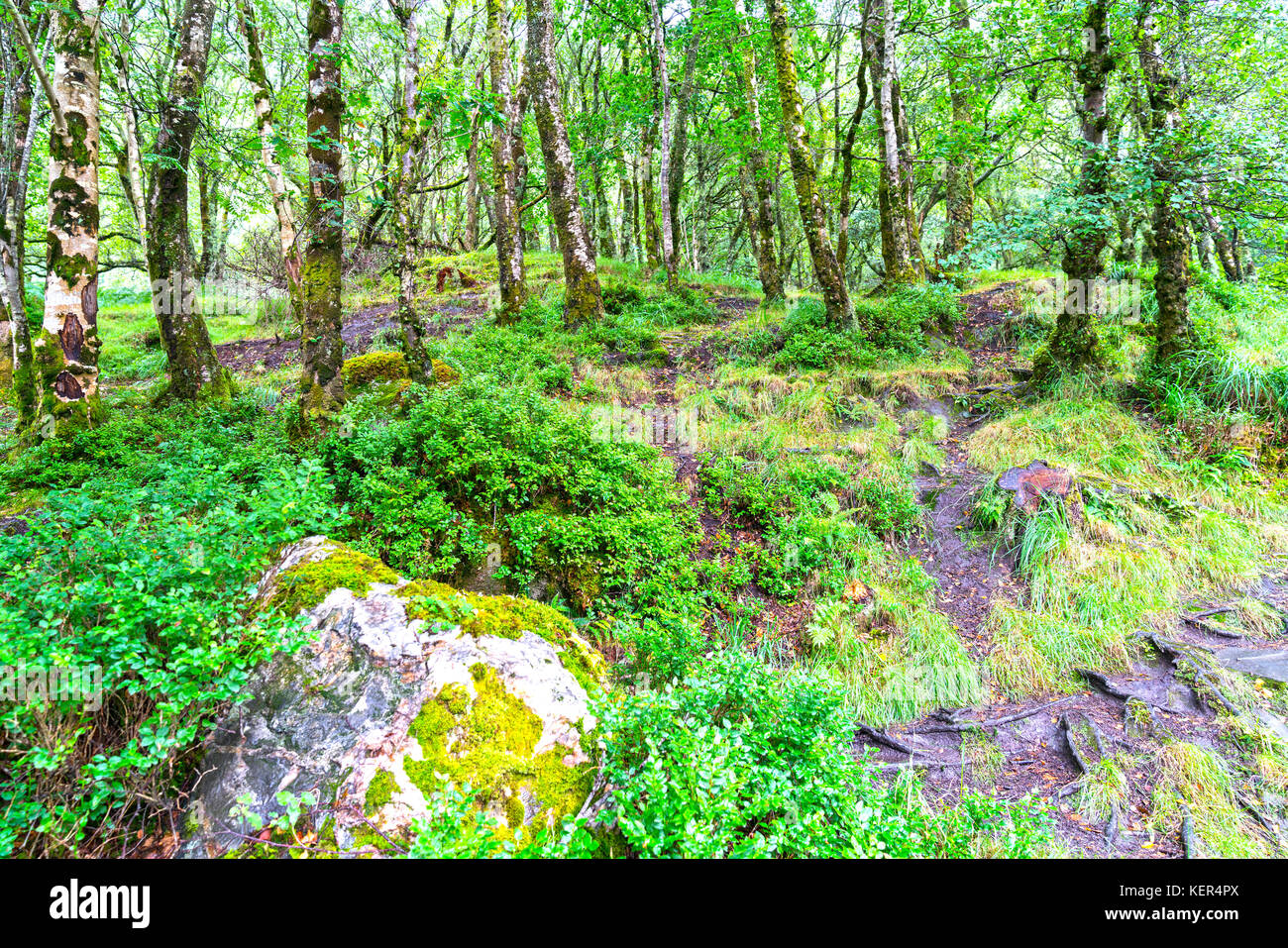 Undergrowth beneath trees at Glendalough in Wicklow National Forest Park Stock Photo