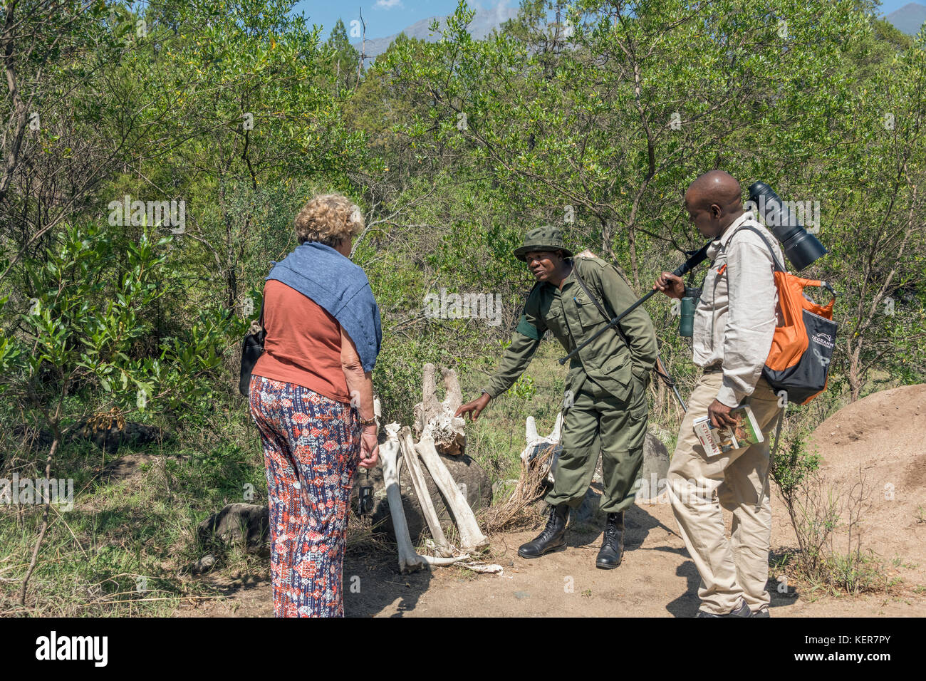 Guide and tourist examining giraffe skeleton with a ranger 1, Arusha NP, Tanzania - Stock Image
