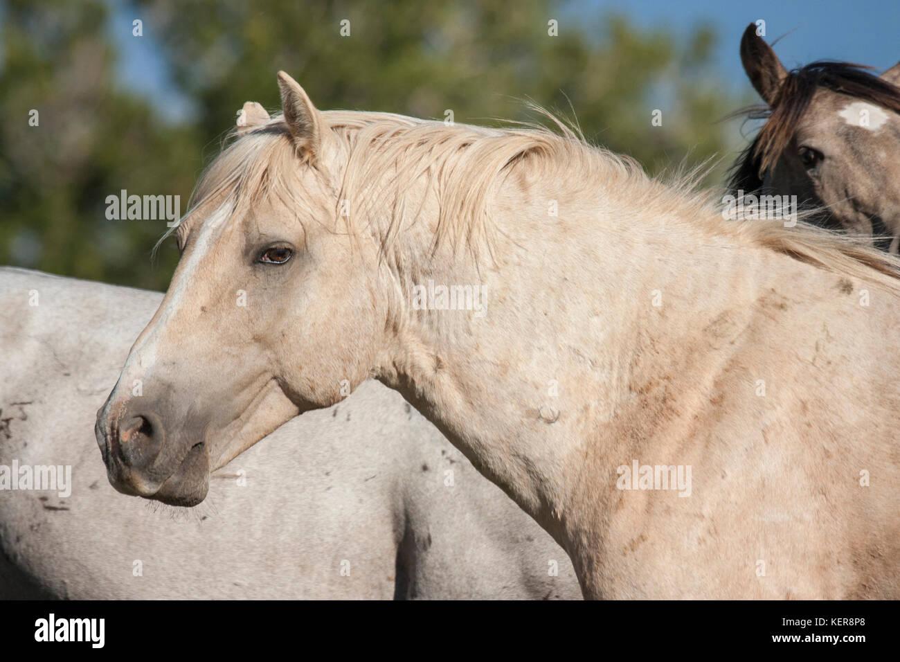 Wild mustang band stallion in Montana - Stock Image