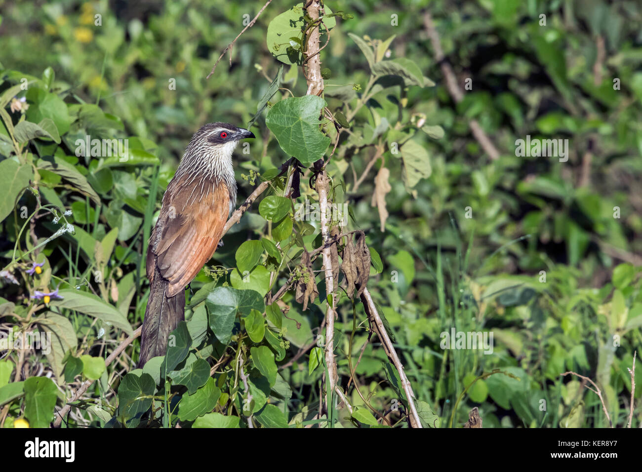 White-browed coucal, AKA lark-heeled cuckoo (Centropus superciliosus), Arusha NP, Tanzania - Stock Image