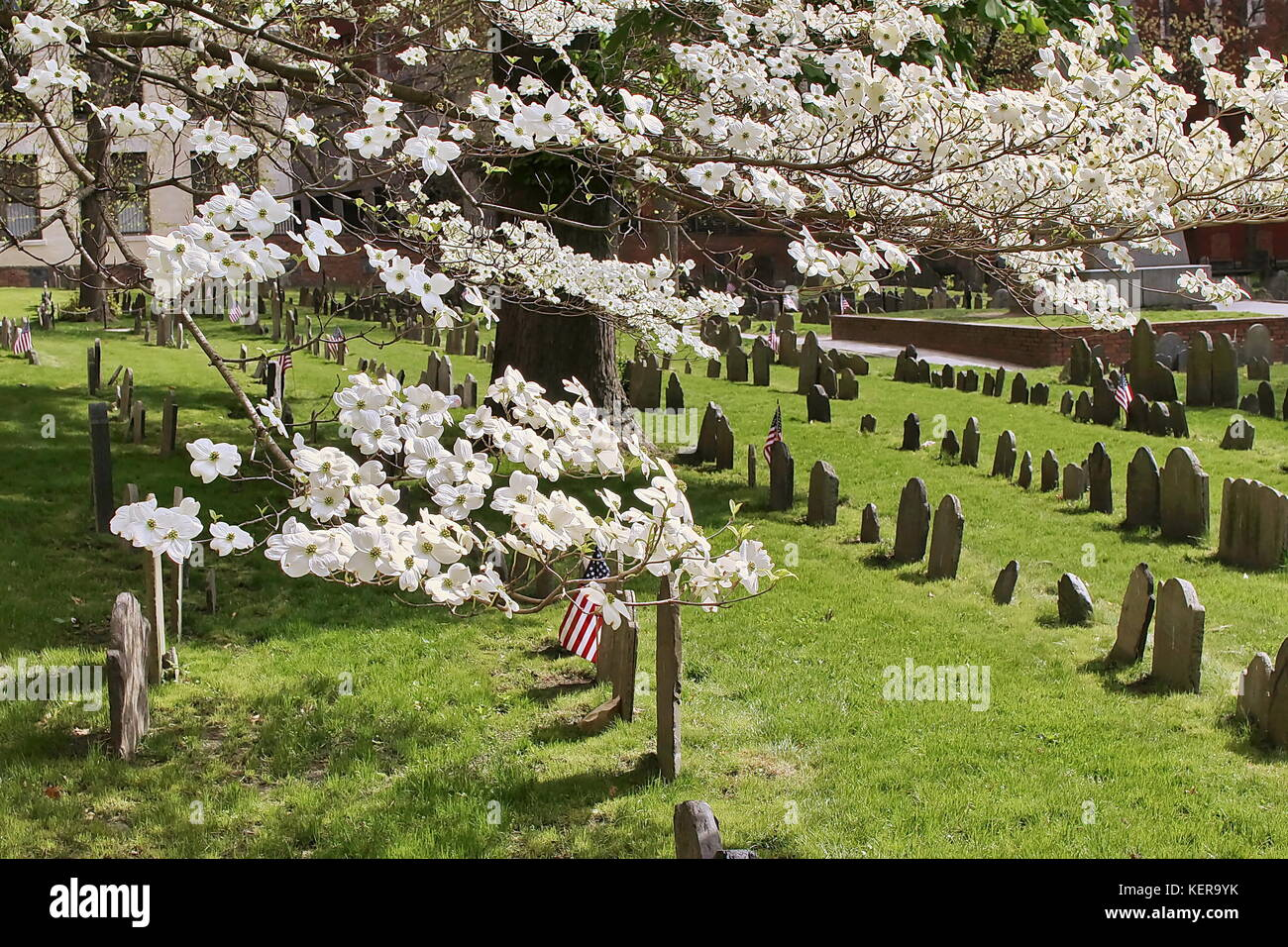 A Dogwood tree in bloom in Granary Burying Ground in Boston, MA - Stock Image