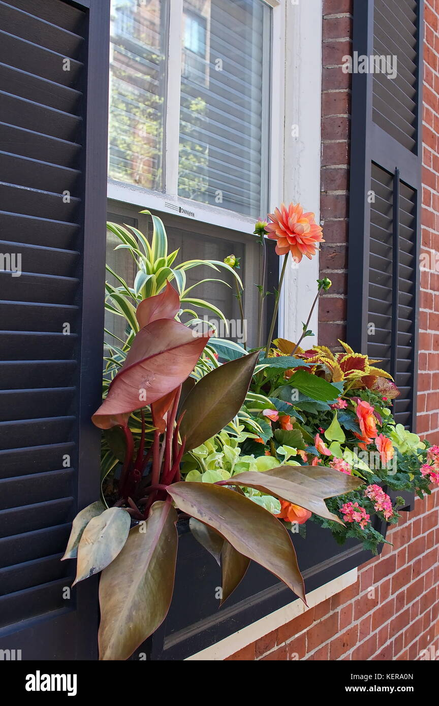 Flowers in a window box from the Beacon Hill section of Boston, MA - Stock Image