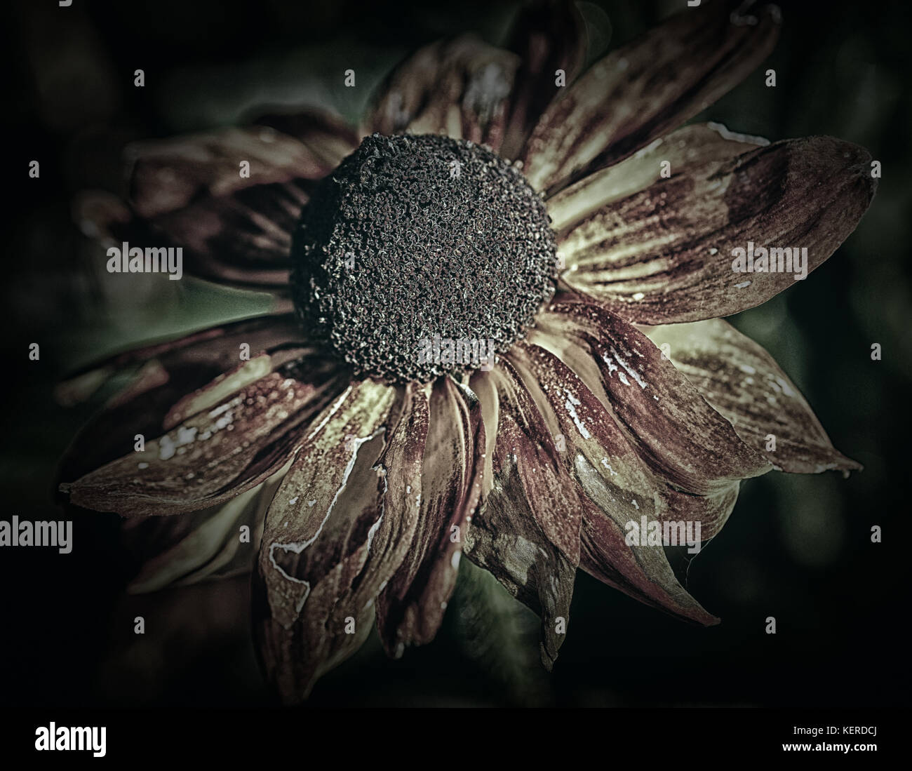 Evanescence shown by spent flowers - Stock Image