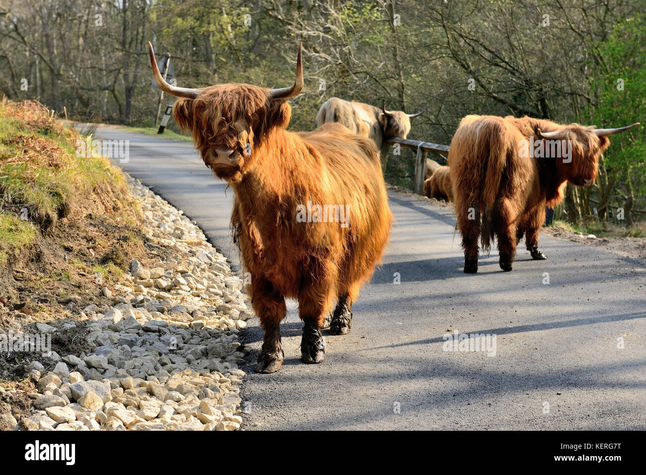 Highland cattle blocking a narrow moorland road prone to flood damage. The roadside drainage channel is filled with Stock Photo