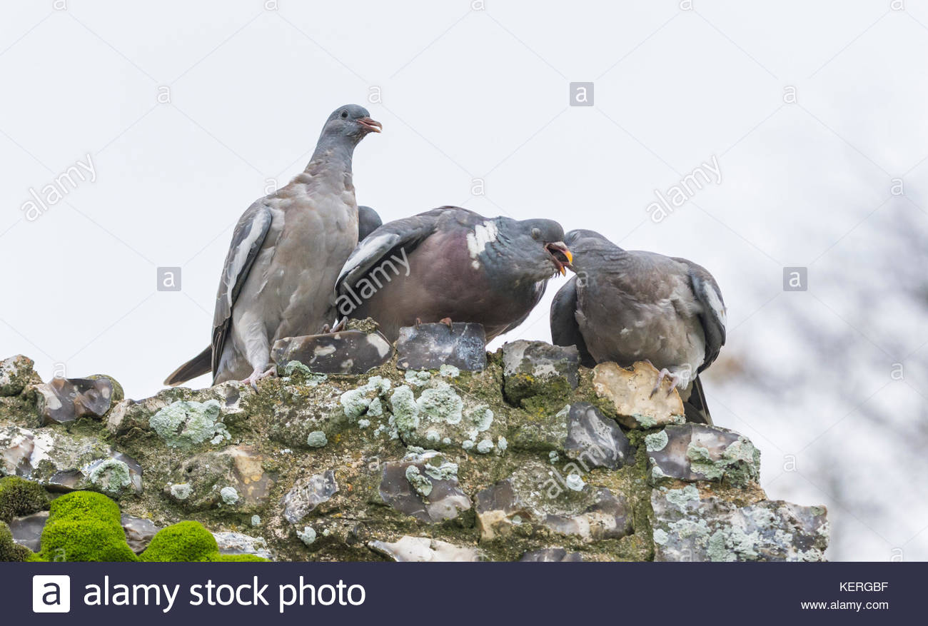 Pair of pigeons appearing to be kissing or rubbing beaks together during a display of courtship in Autumn in the - Stock Image