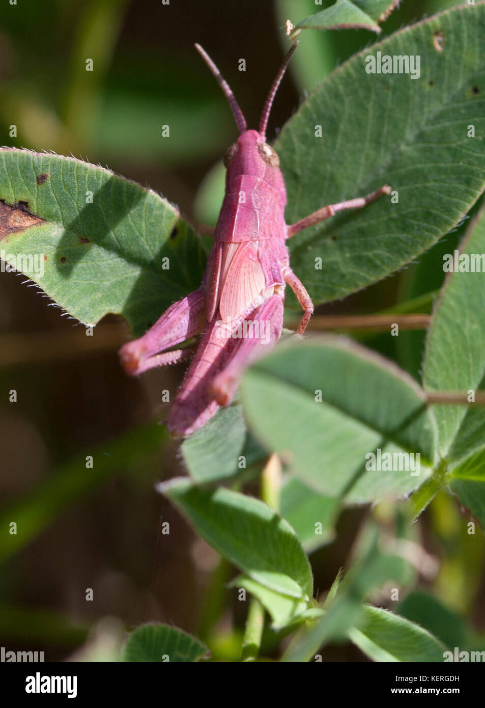 GRASSHOPPER NYMPH at leaf 2017 Stock Photo