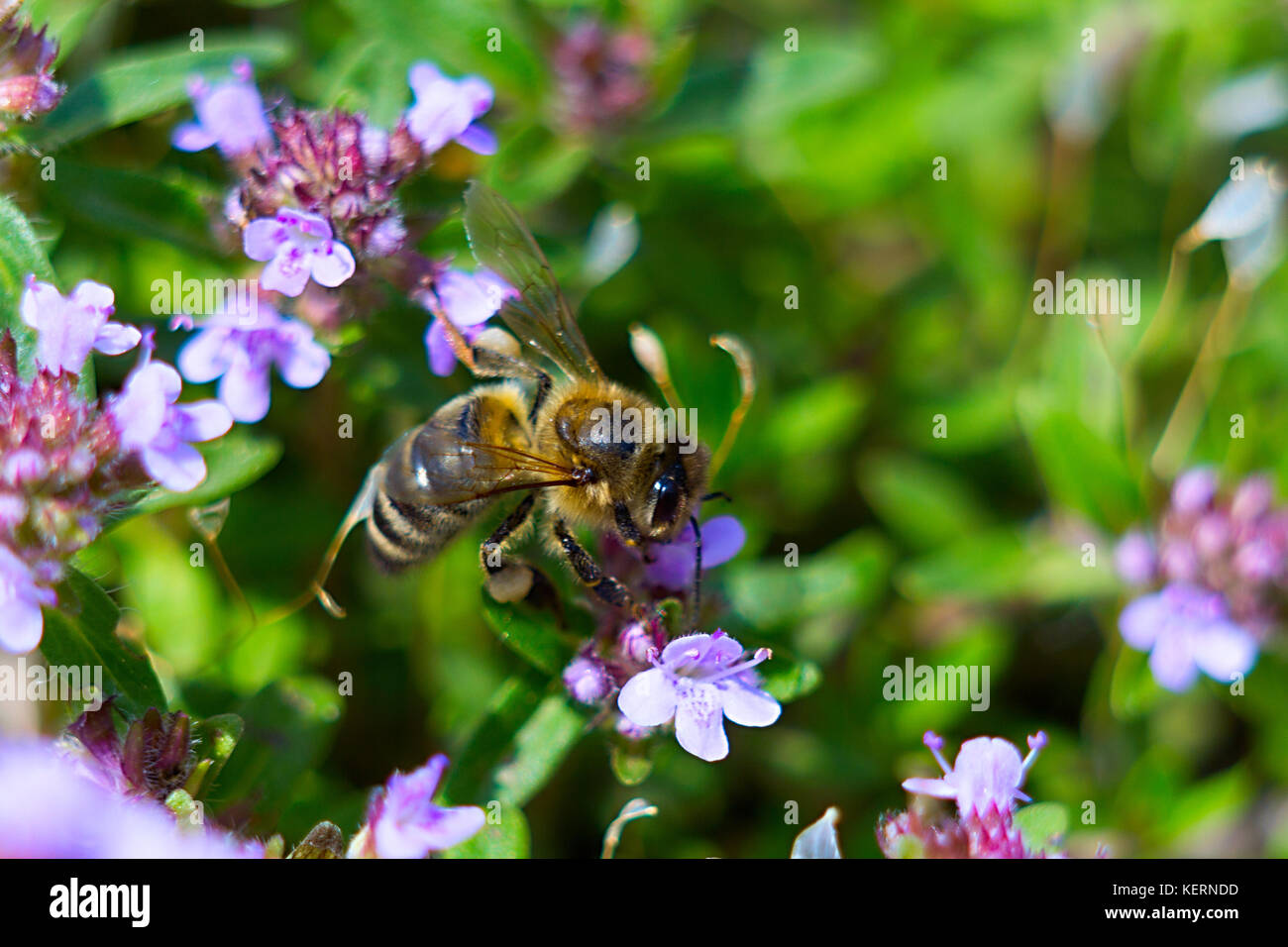 The bee sits on a purple thyme flower. Close-up - Stock Image