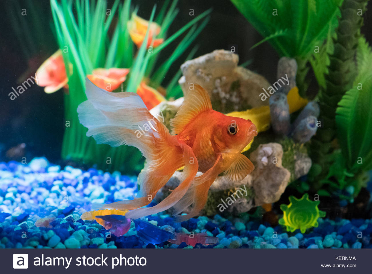 Goldfish Tank High Resolution Stock Photography And Images Alamy