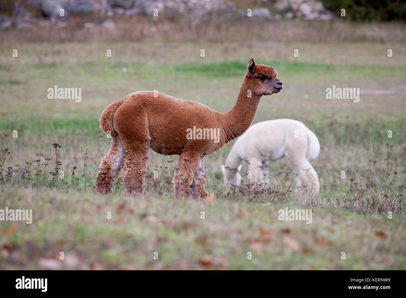 ALPACKA animals graze in the Swedish nature  2017 - Stock Image