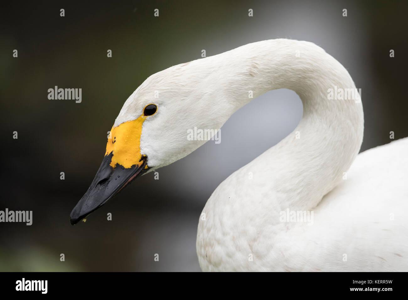 Bewick Swan ; Cygnus columbianus  Single Portrait Scotland; UK - Stock Image