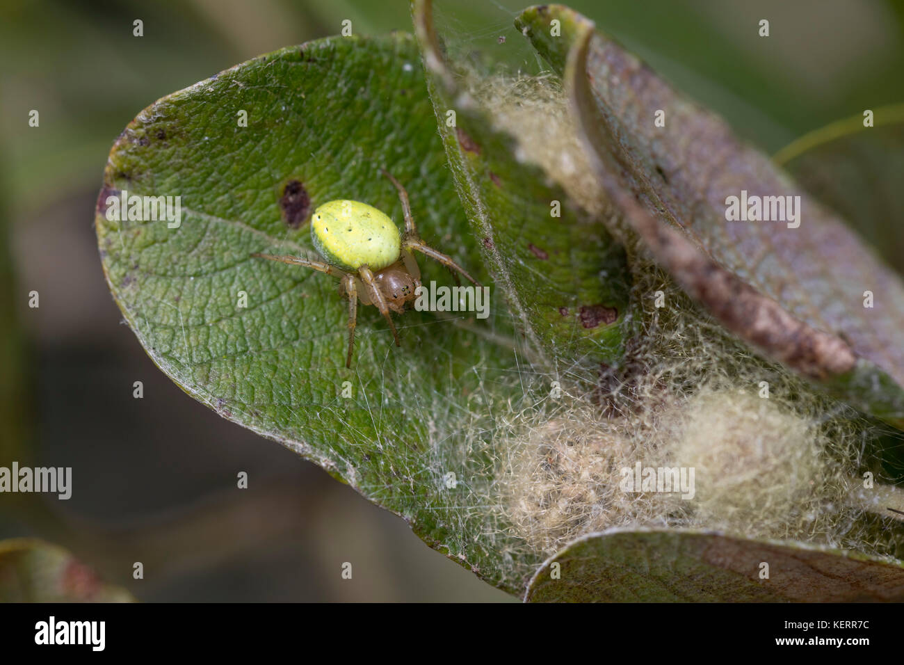 Cucumber Green Orb Web Spider; Araniella cucurbitina Single with Web on Leaf Cornwall; UK - Stock Image