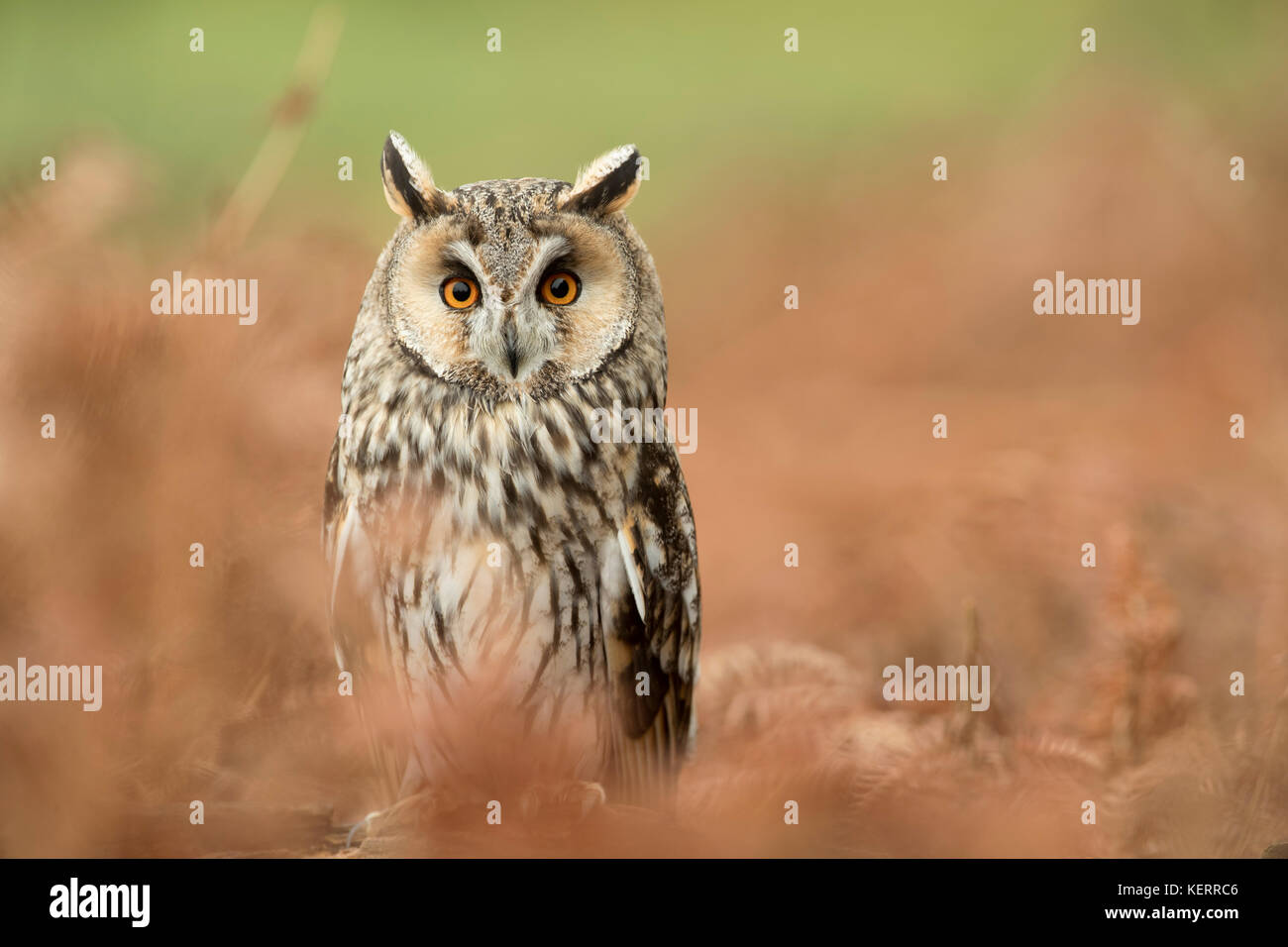 Long Eared Owl; Asio otus Single; Captive; with Bracken Cornwall; UK - Stock Image
