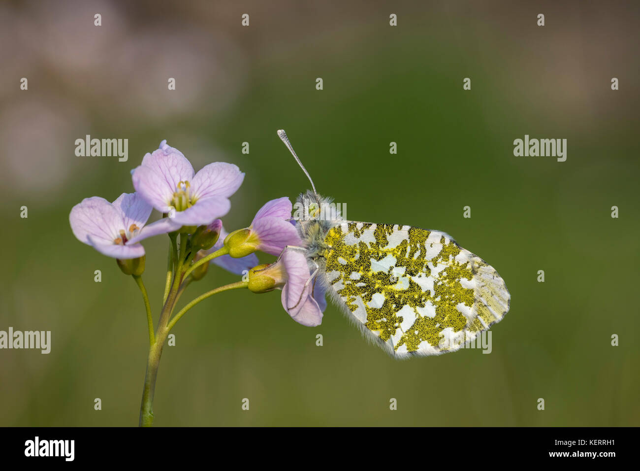 Orange Tip Butterfly; Anthocharis cardamines Single; Female Roosting on Cuckoo Flower Lancashire; UK - Stock Image
