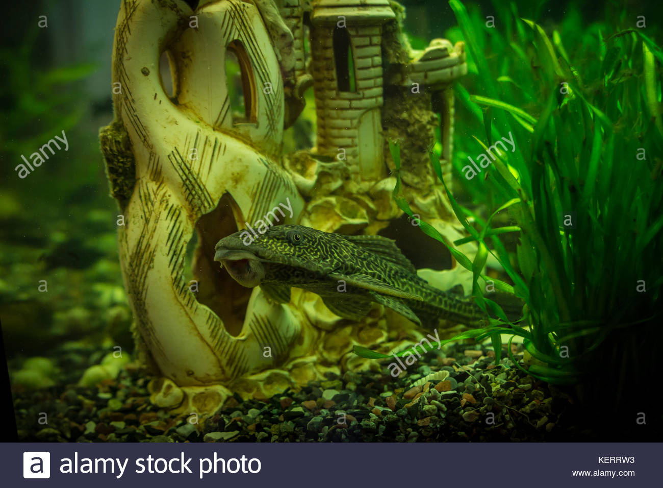 Home aquarium with fish and castle and water plants - Stock Image