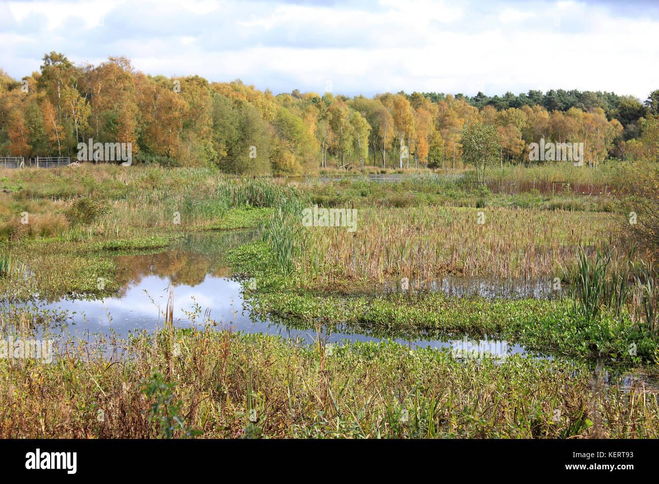 Reedbeds at Mere Sands Wood Nature Reserve, UK - Stock Image