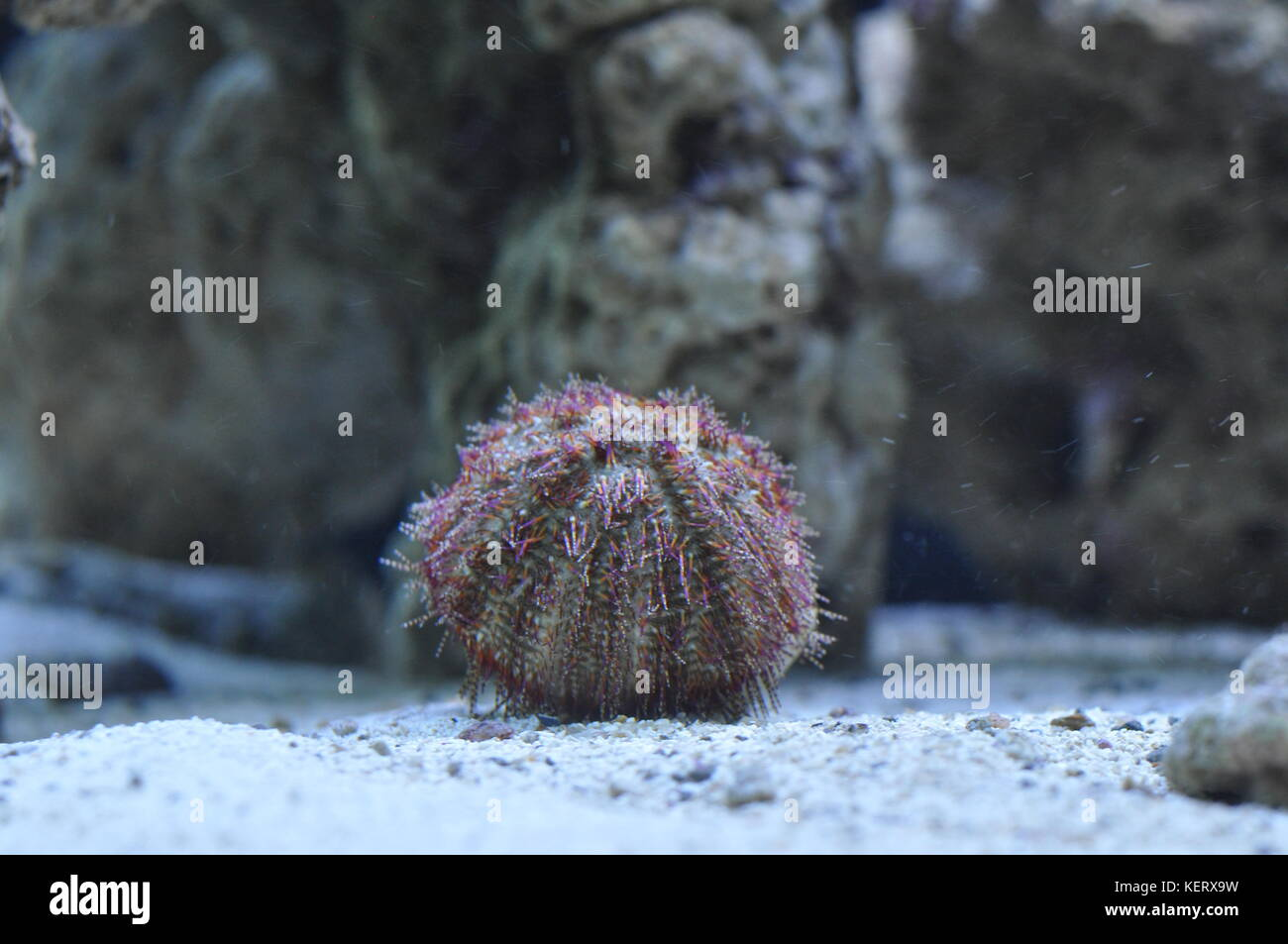 Sea Urchin - Marine Invertebrates - Stock Image