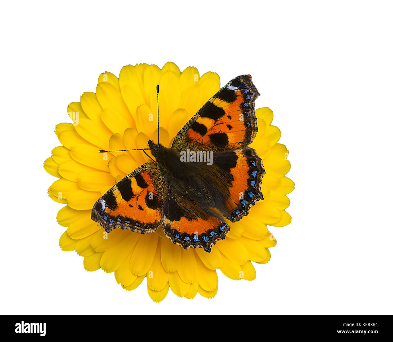 cut out image of a small tortoiseshell butterfly, Aglais urticae, on a calendula flower - Stock Image