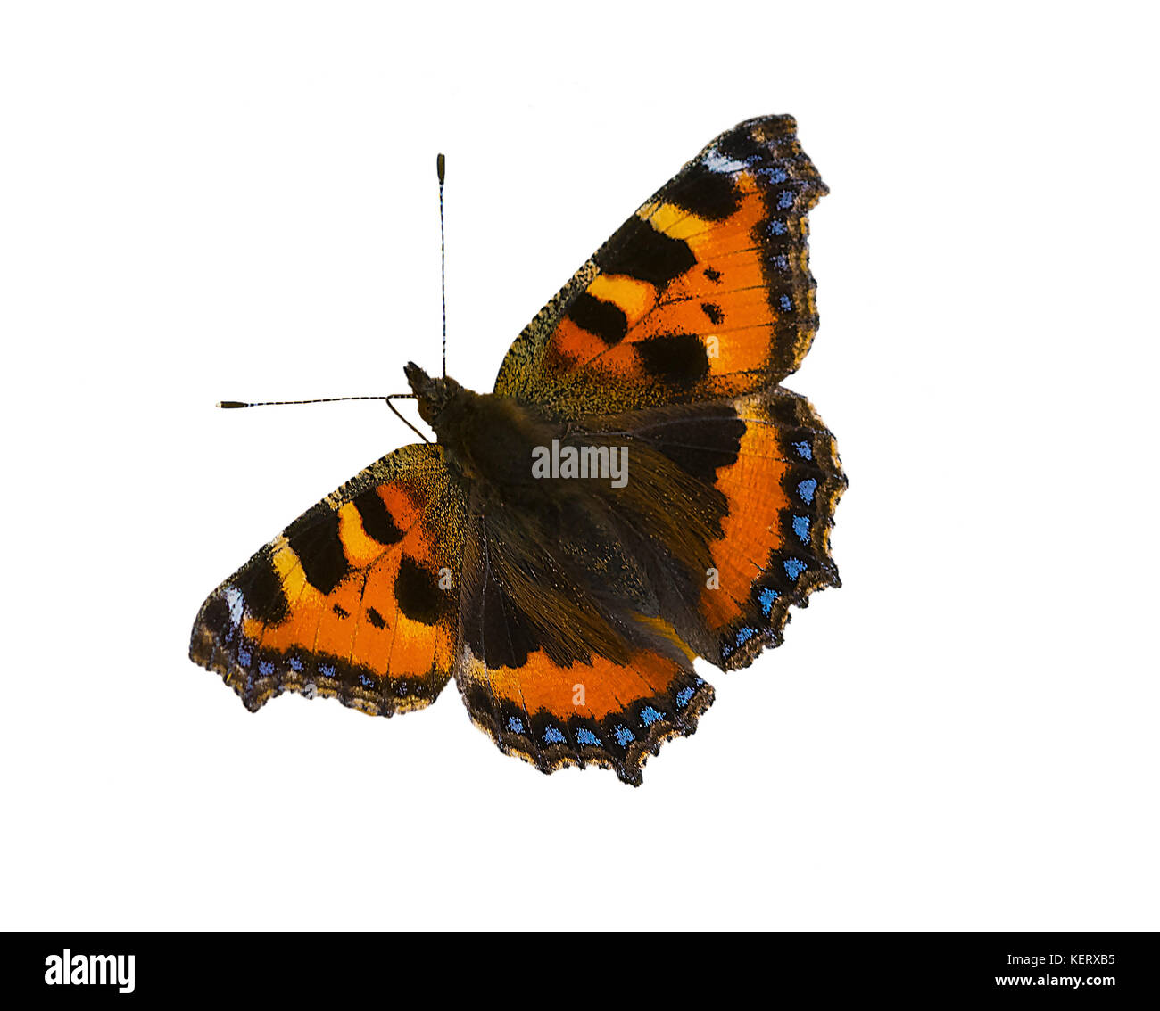 cut out image of a small tortoiseshell Aglais urticae butterfly - Stock Image