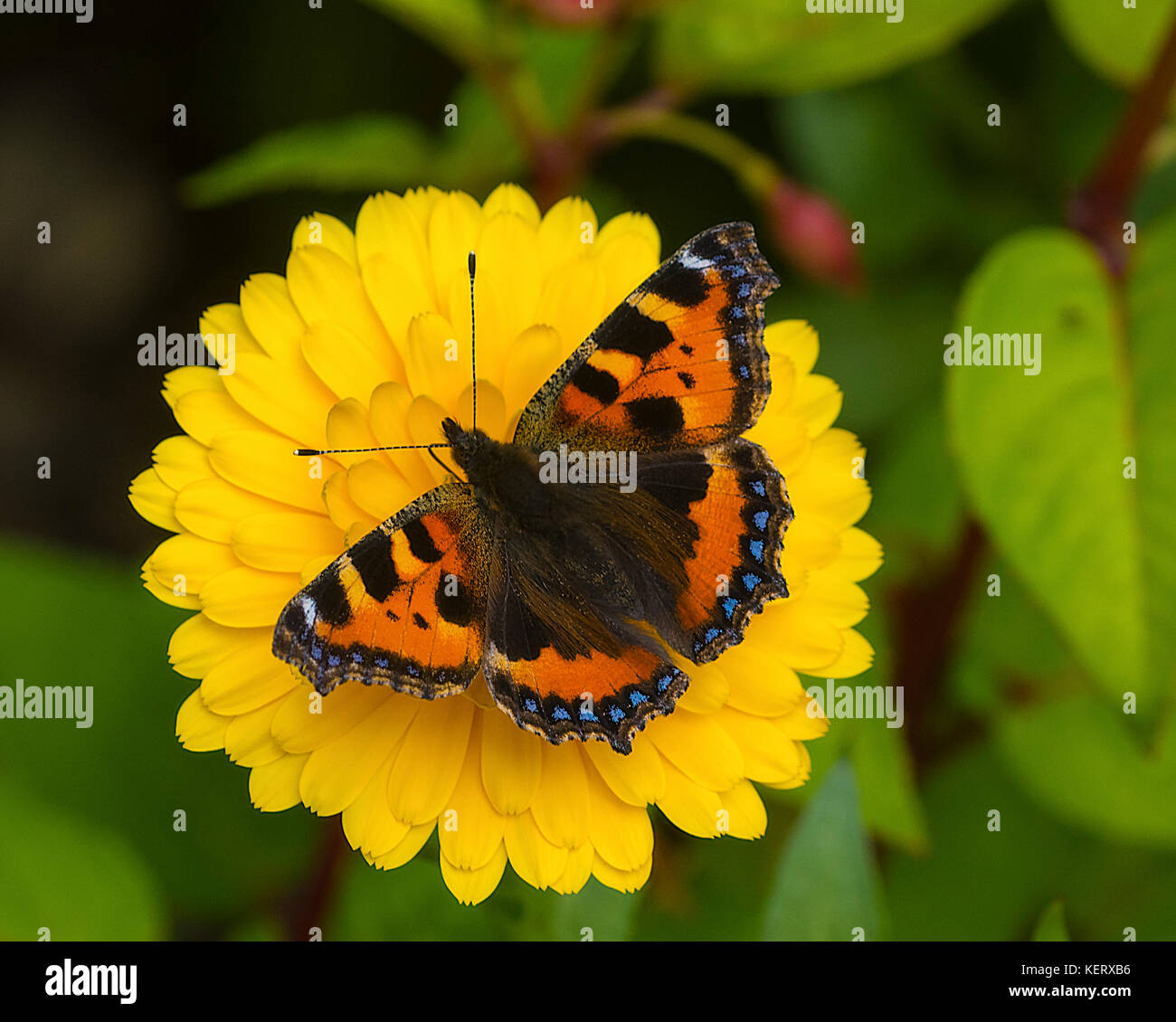 cut out image of a small tortoiseshell butterfly Aglais urticae on a calendula flower - Stock Image