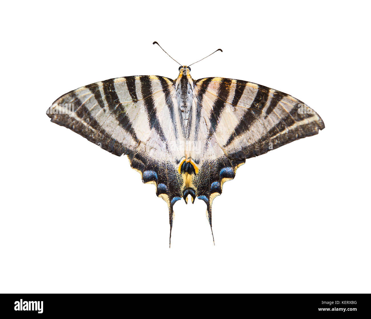 cut out image of a scarce swallowtail butterfly Iphiclides podalirius - Stock Image