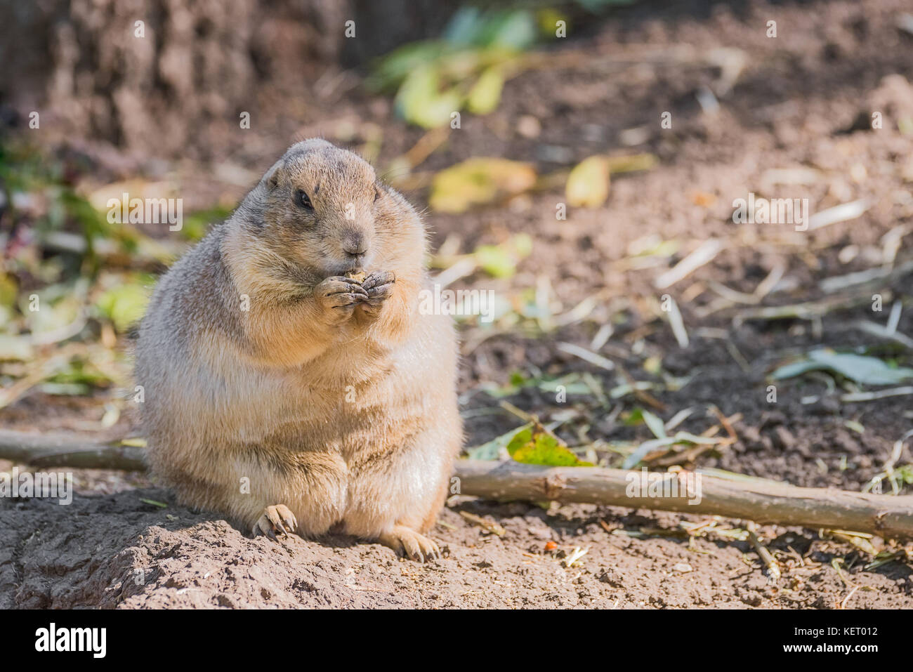 Gopher sitting up and eating - Stock Image