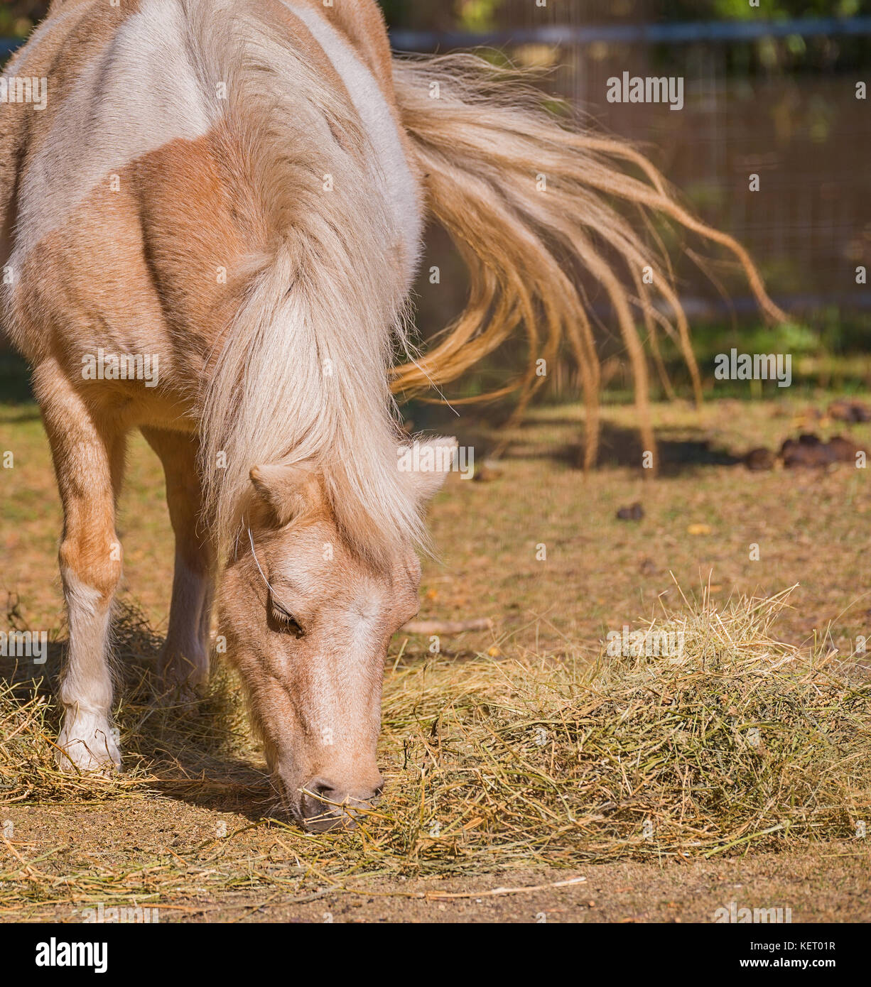 Pony eating straw while flicking its tail - Stock Image