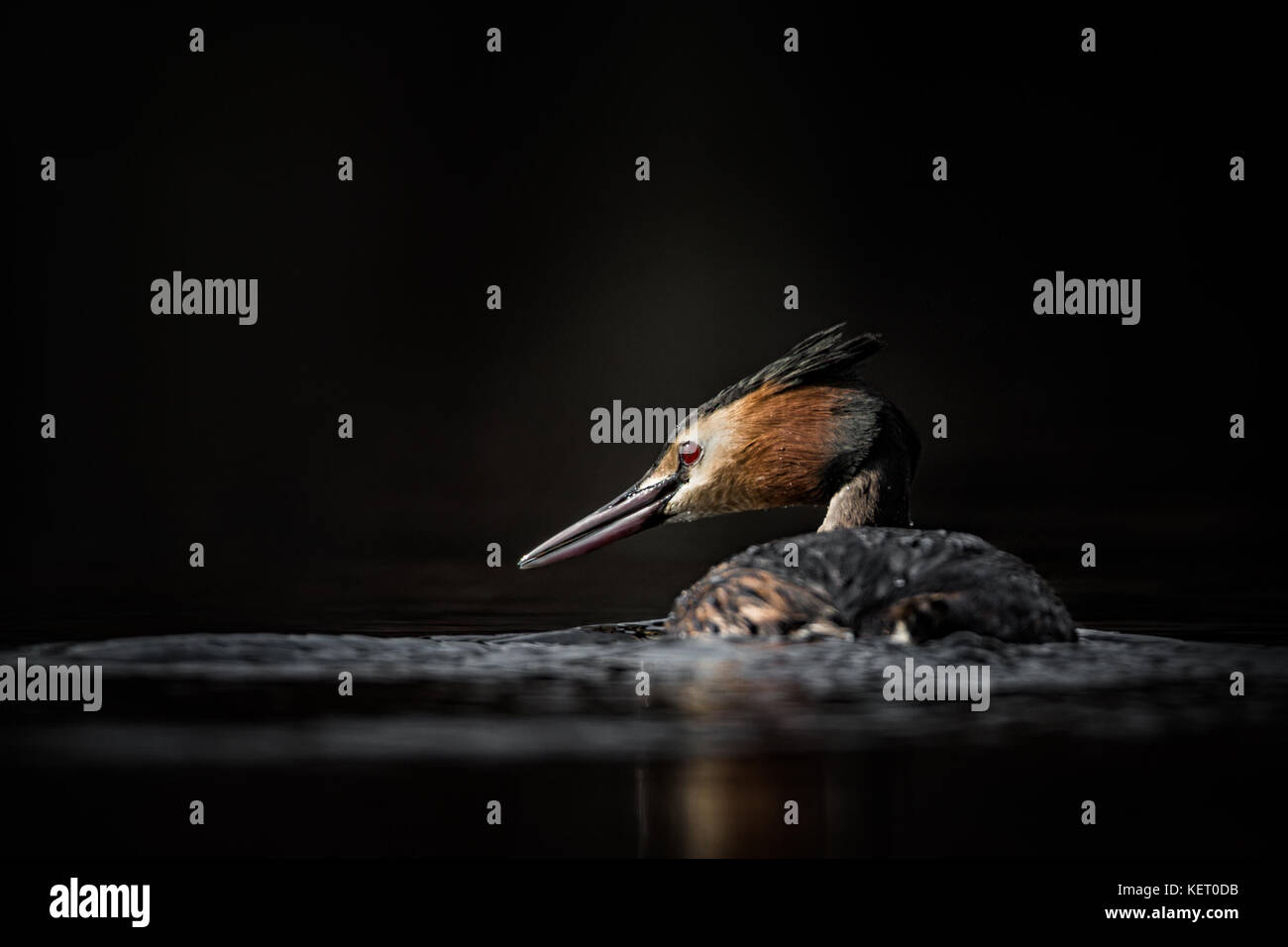 Great Crested Grebe on lake, England, UK - Stock Image