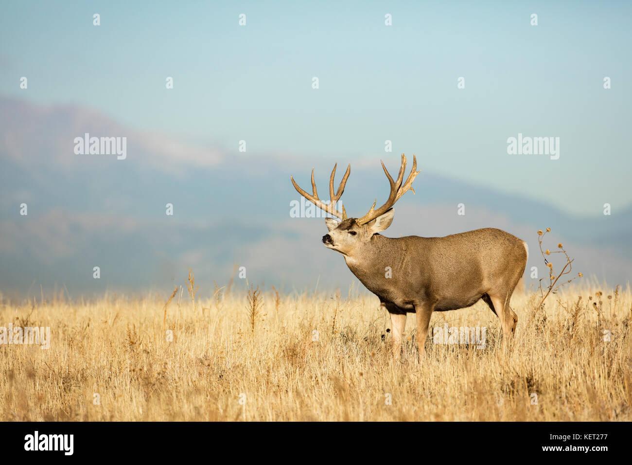 Mule deer - Stock Image