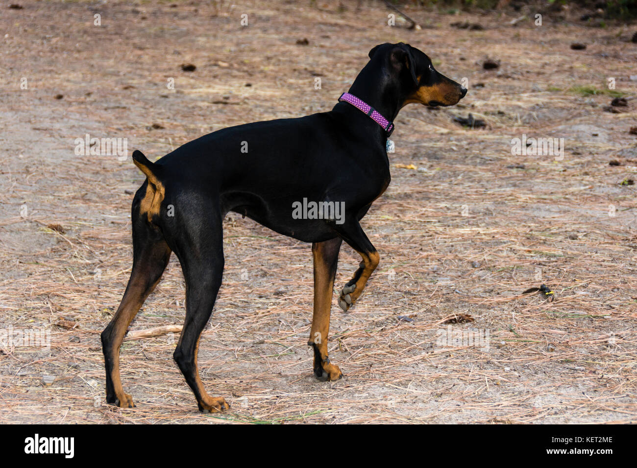Doberman Pinscher dog in pointing hunting stance - Stock Image