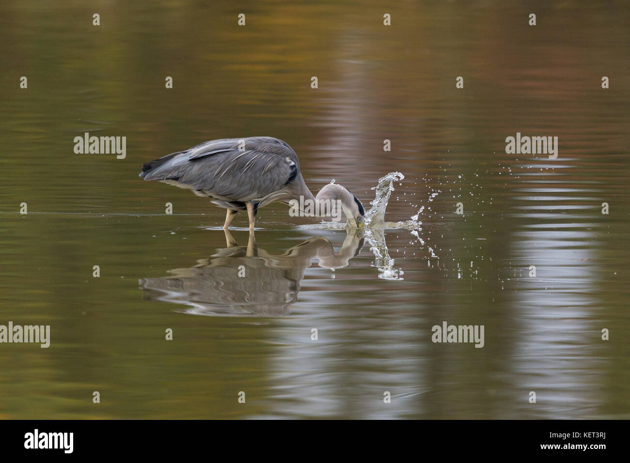 portrait of natural gray heron (ardea cinerea) standing and hunting in water - Stock Image
