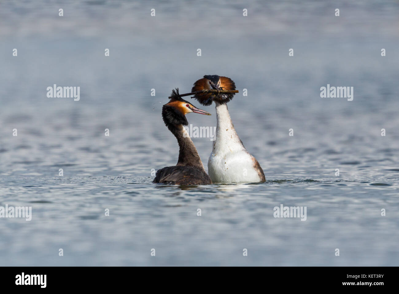 pair of great crested grebes (podiceps cristatus) mating with gift in beak - Stock Image