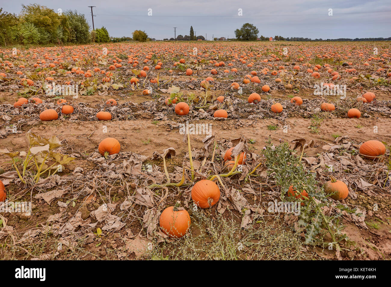 Bennington Lincolnshire, UK, October 2017, Pumpkins growing in a field - Stock Image