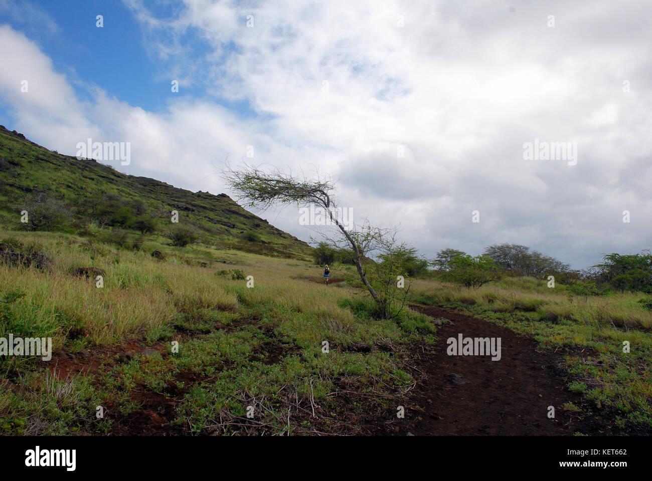 Wind-blown tree on Ka'ena Point Trail, Oahu Hawaii - Stock Image