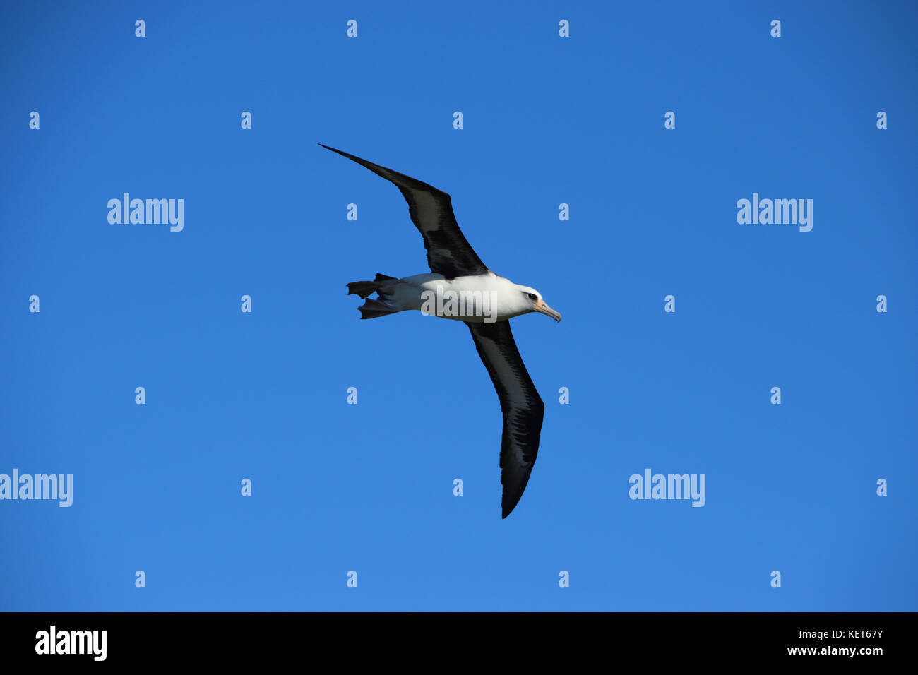 Albatross Nesting Ground near Ka'ena Point, Oahu Hawaii - Stock Image