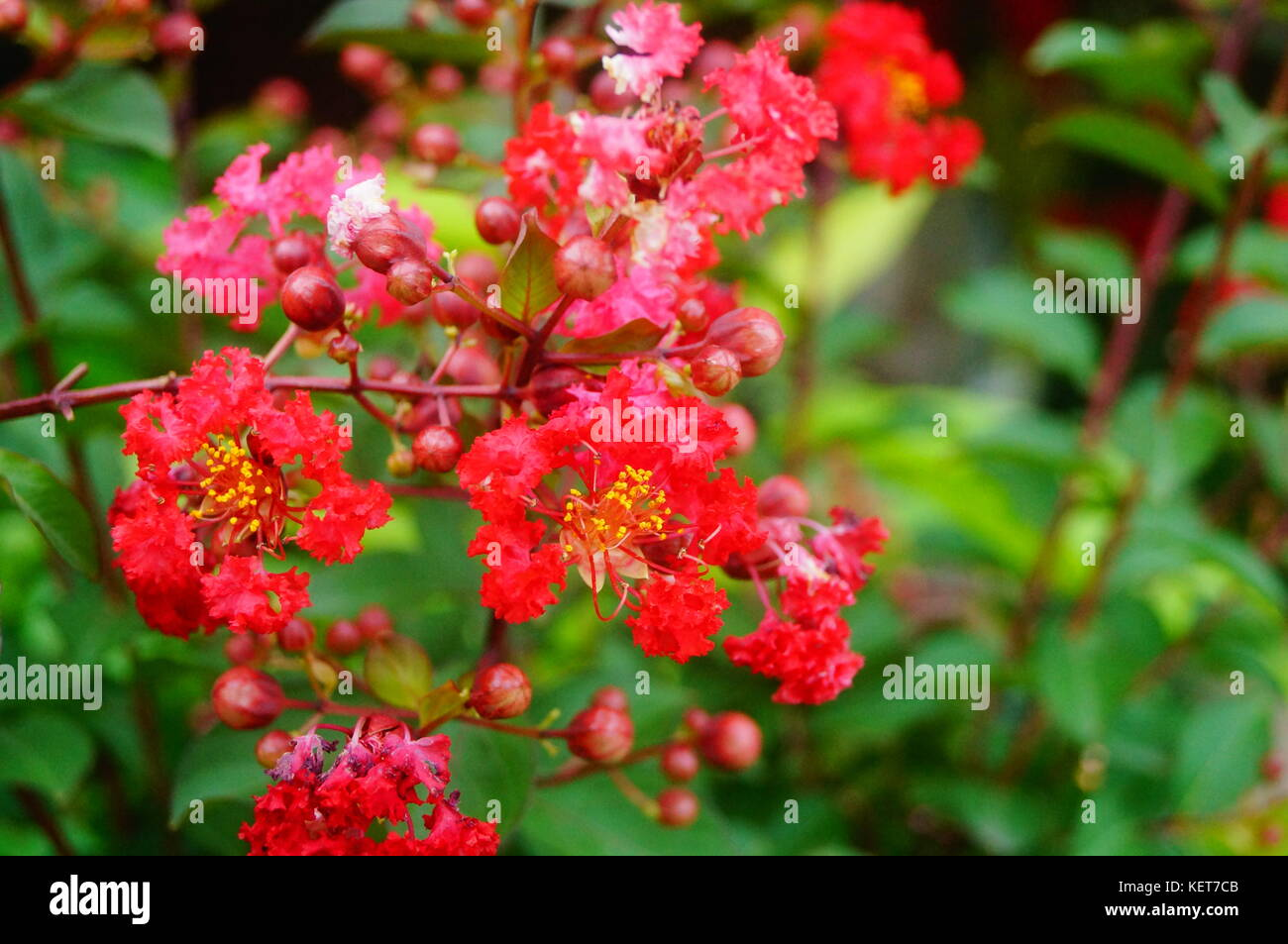 Leaves Of Crape Myrtle Stock Photos & Leaves Of Crape Myrtle Stock ...