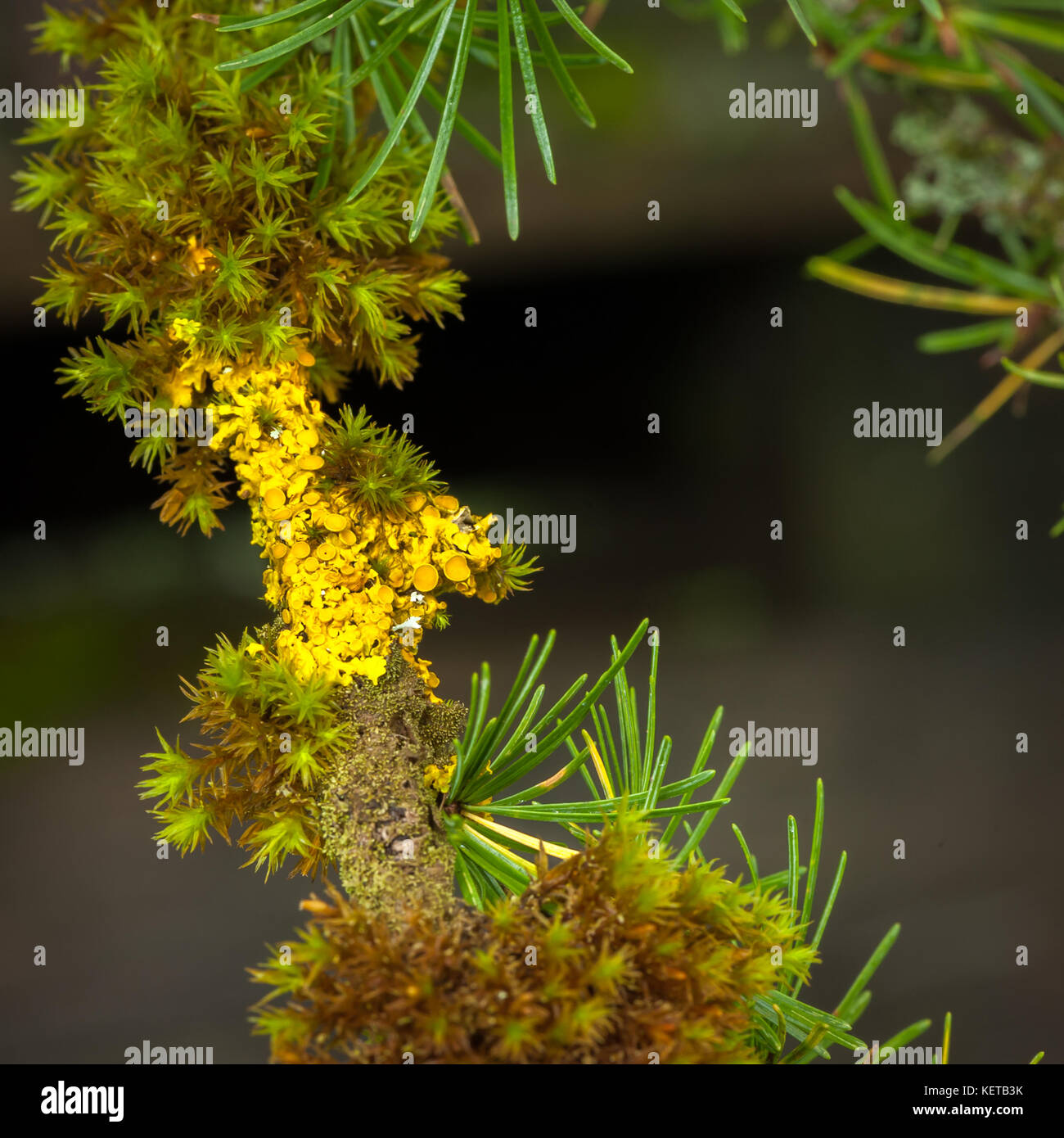 Closeup of lichen and moss growing on a larch twig - Stock Image