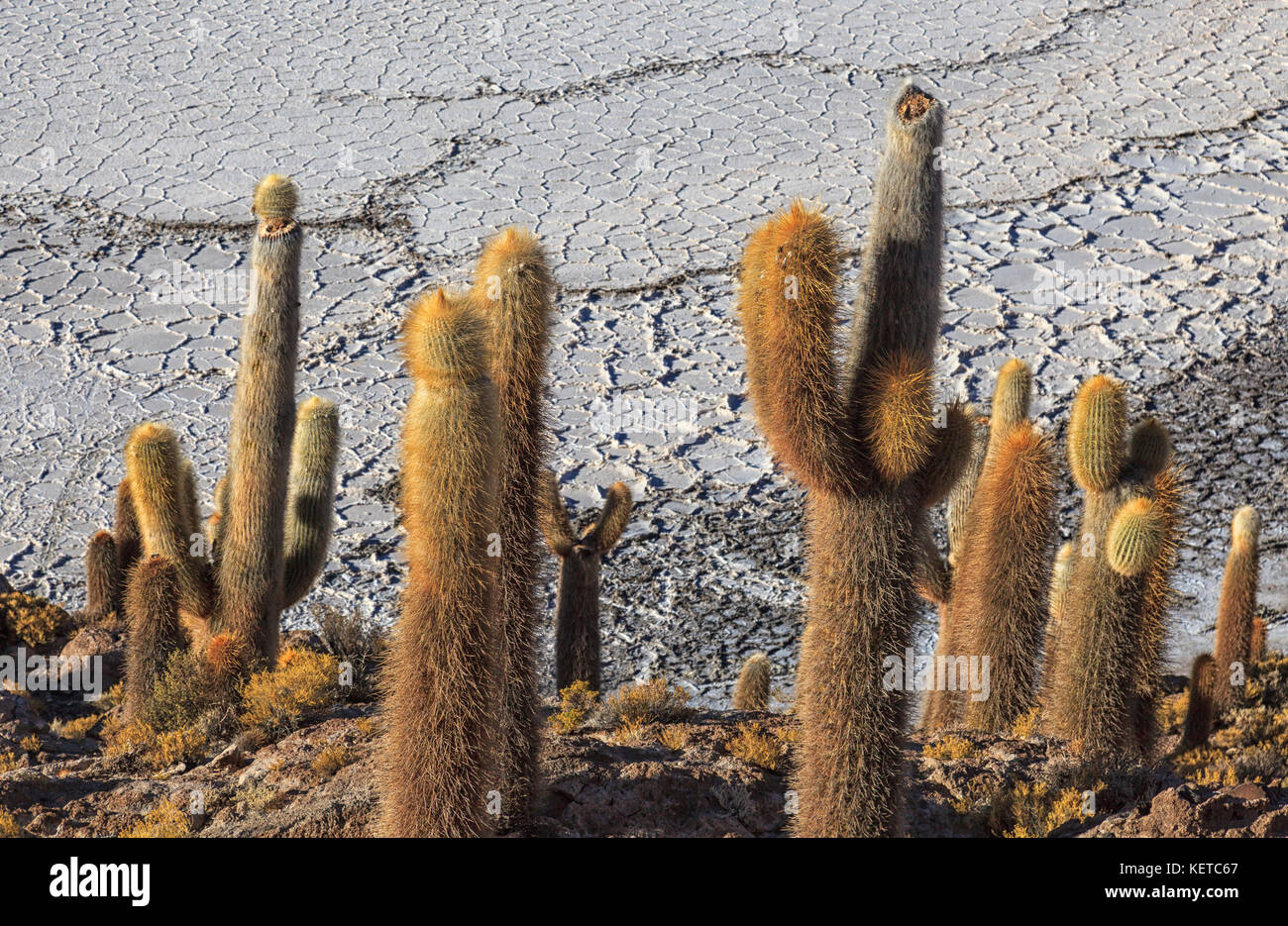 Close up of giant cacti on hills and rocks of the Isla Incahuasi located in the Salar de Uyuni South Lipez Bolivia - Stock Image
