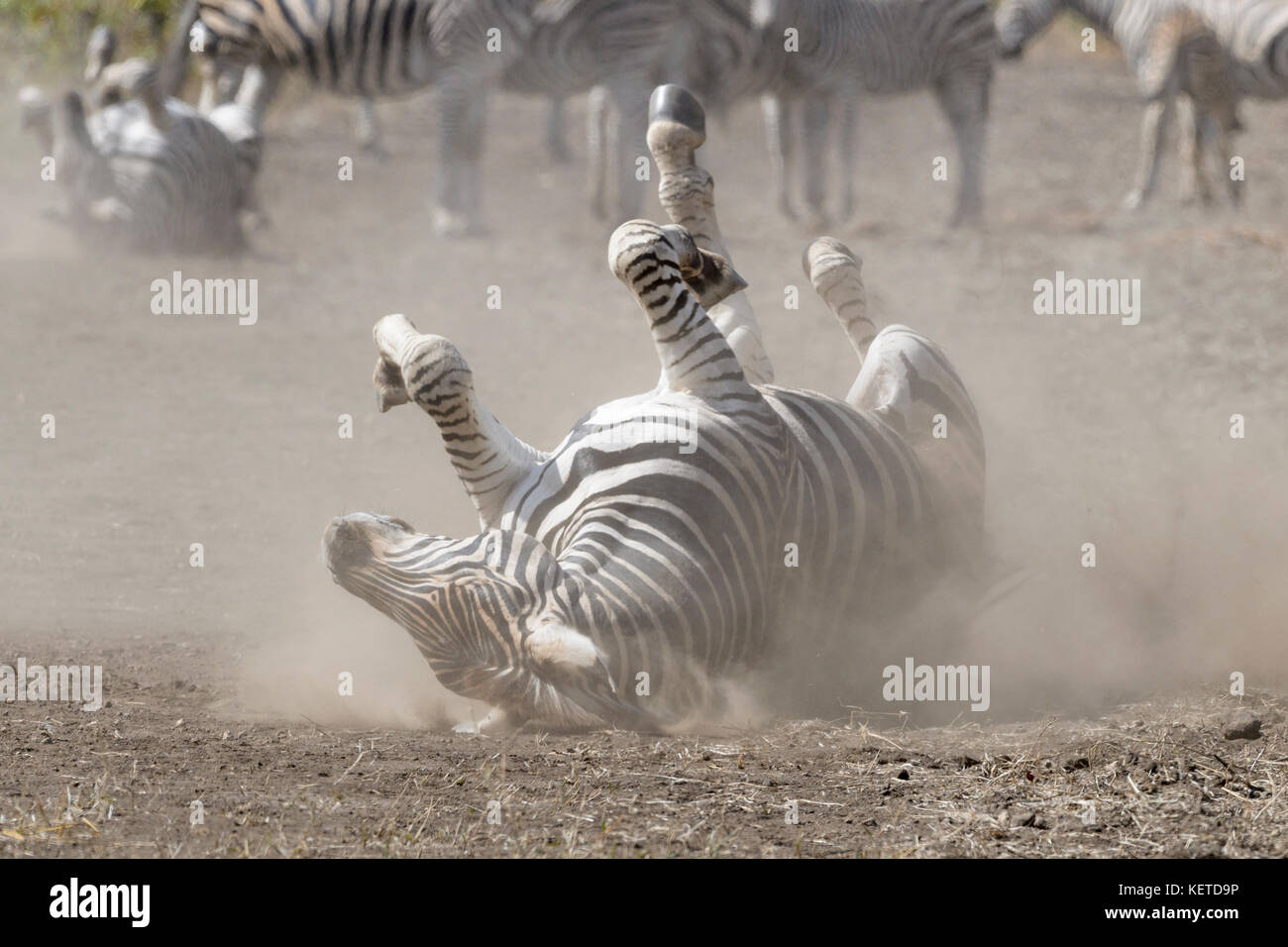 Plains zebra (Equus quagga) rolling in dust on savanna, Kruger National Park, South Africa - Stock Image