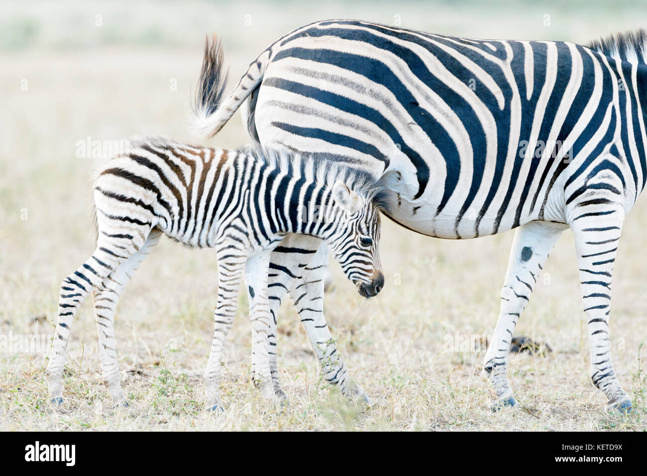 Plains zebra (Equus quagga) foal trying to drink with mother, Kruger National Park, South Africa - Stock Image