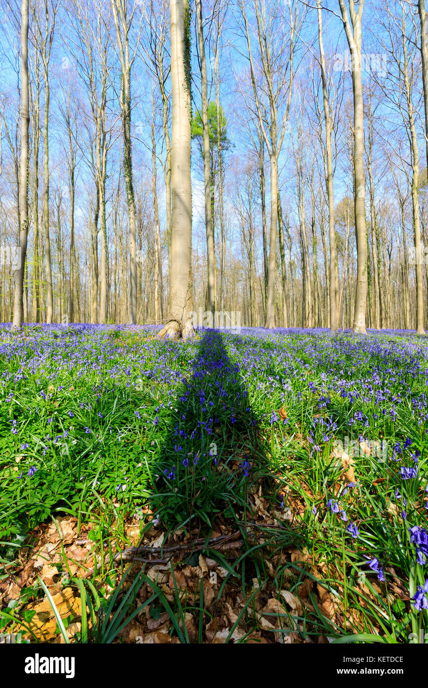 Blue sky on the Sequoia trees framed by the purple carpet of blooming bluebells in the Hallerbos forest Halle Belgium - Stock Image