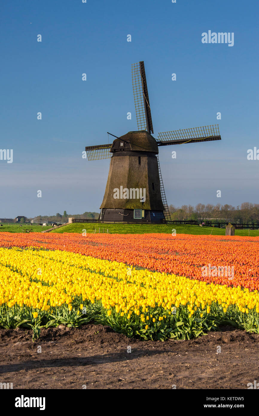 Multicolored tulip fields and blue sky frame the windmill in spring Berkmeer Koggenland North Holland Netherlands - Stock Image