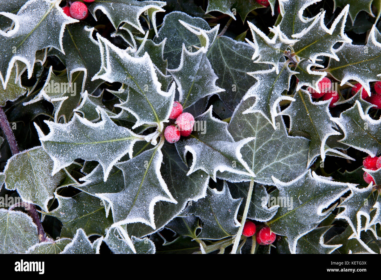 Frosted holly and ivy leaves and holly berries. - Stock Image