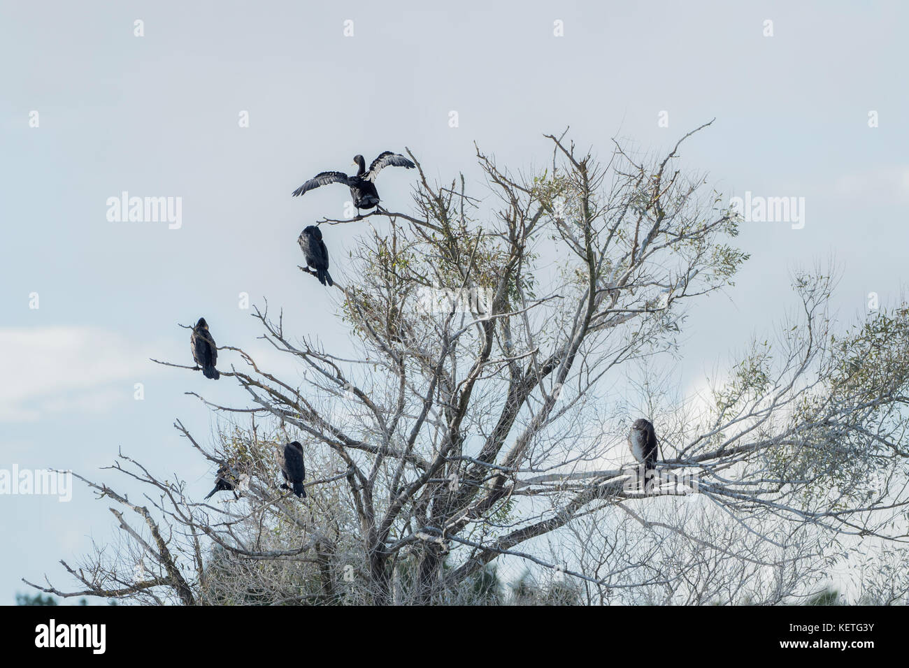 Many Kormorans sit on the tree - Stock Image