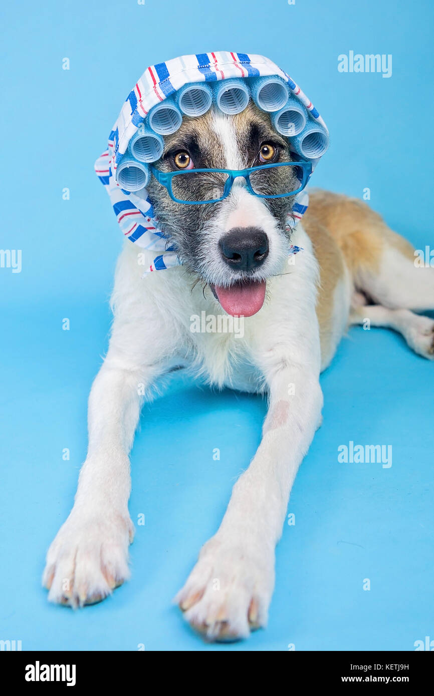 dog in hair curlers - Big Bad Wolf - Stock Image