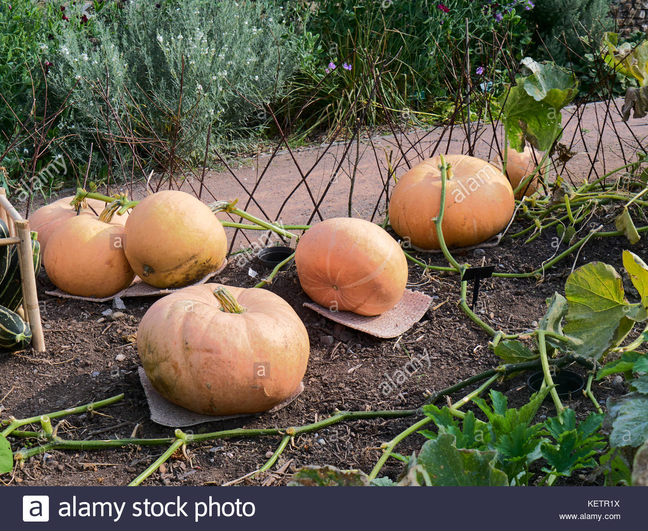 Large fruit pumpkins growing in a garden allotments in the uk - Stock Image